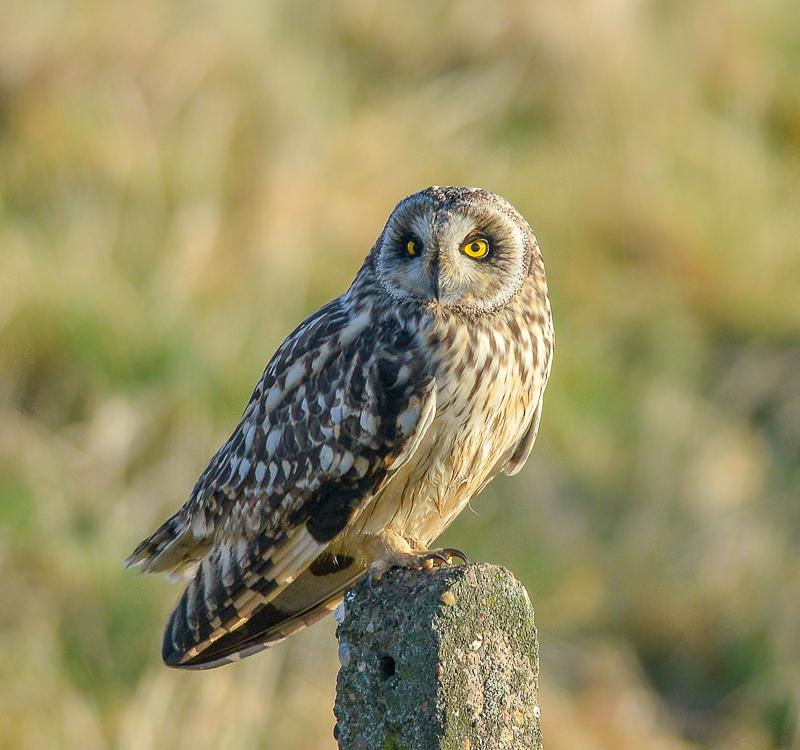 14 - Short-Eared Owl On A Post In Winter