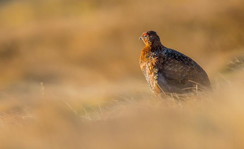 Golden Hour (Red Grouse, Lagopus lagopus scoticus), North Pennin