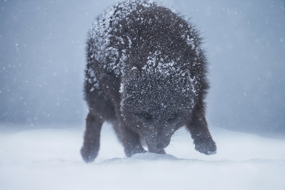 Arctic Fox Battling Its Way Through a Winter Storm - Copyright David Gibbon