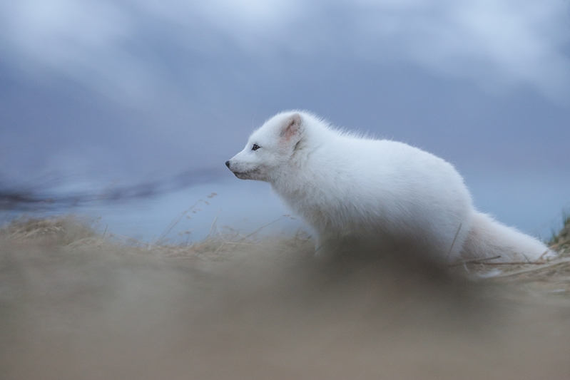 White Morph Arctic Fox - copyright David Gibbon