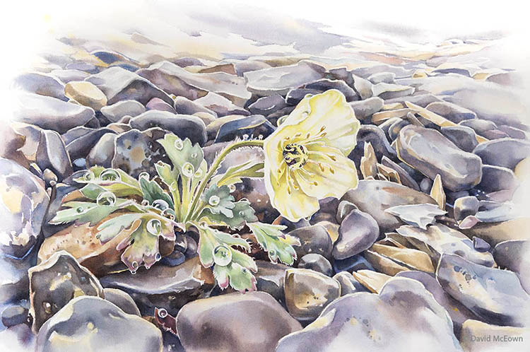 """Arctic Poppy, 15 x22 inches, watercolor"