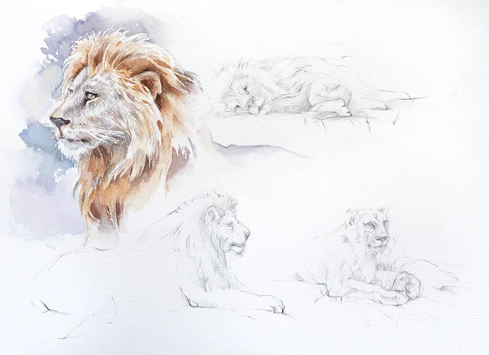 Lion study n.1