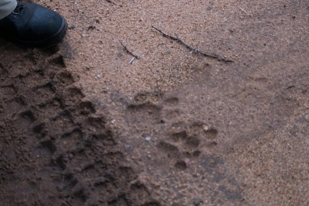 Leopard tracks.