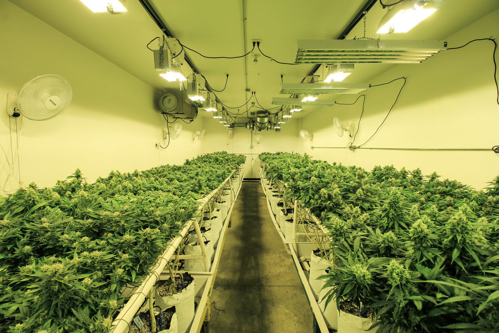 Flowering room at Colorado Harvest Company Grow - Photograph by Colorado Harvest Company