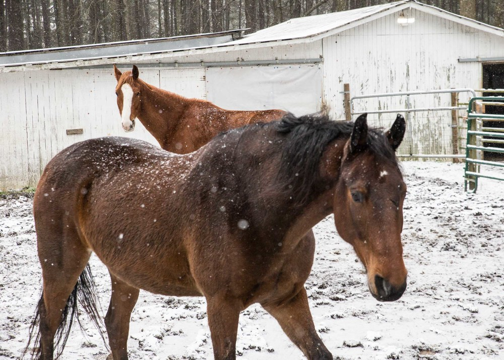 Snow flakes fall on horses during a light snow fall, Saturday, Jan. 23, 2016, in Woodstock, Ga.