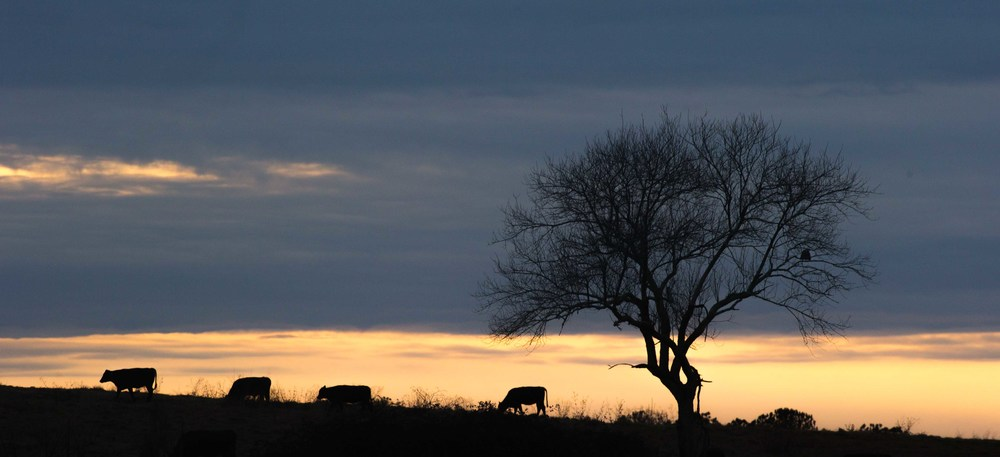Cows graze at sunset in Stephens, Ga., Wednesday, Feb. 3, 2016. With over 42,000 farmers working in the Georgia agriculture industry, farming contributes over $73 Billion to Georgia's economy each year.  Forecasters say profits are expected be down as well as exports in 2016 nationwide due to a fragile world economy.  Photo by Branden Camp