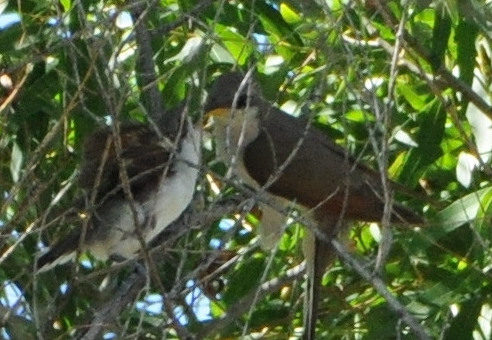 Yellow-billed Cuckoo male feeding a recent fledgling