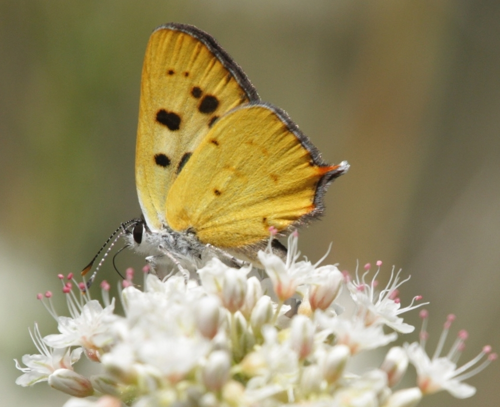 Hermes copper butterfly nectaring on California Buckwheat, Alpine, CA