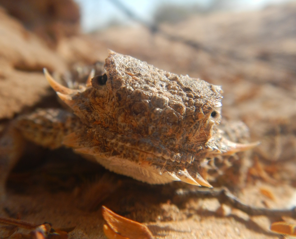 Flat-tailed Horned Lizard