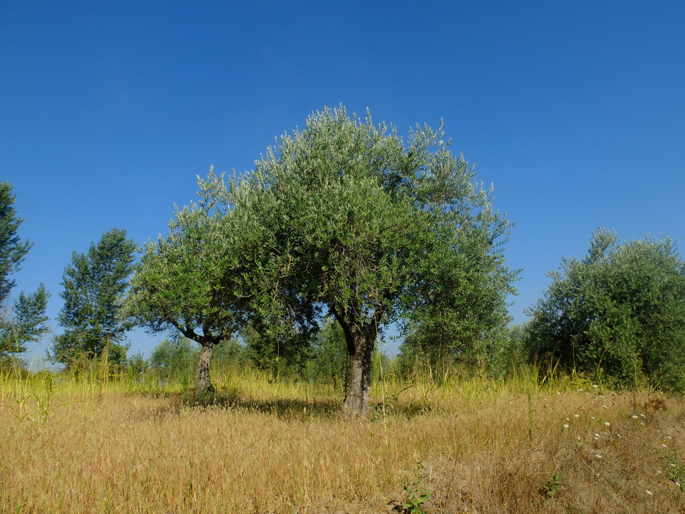 Olive trees in Foglianise