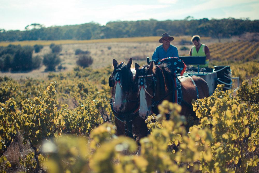 Horses Vineyard-116.jpg