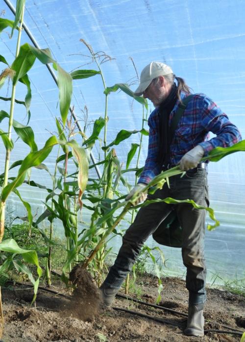 Innhøsting:  Maisen ble liten i år, men Piet Vijverberg er like takknemlig.