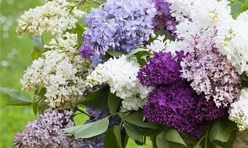 lilacs_2582962b.jpg