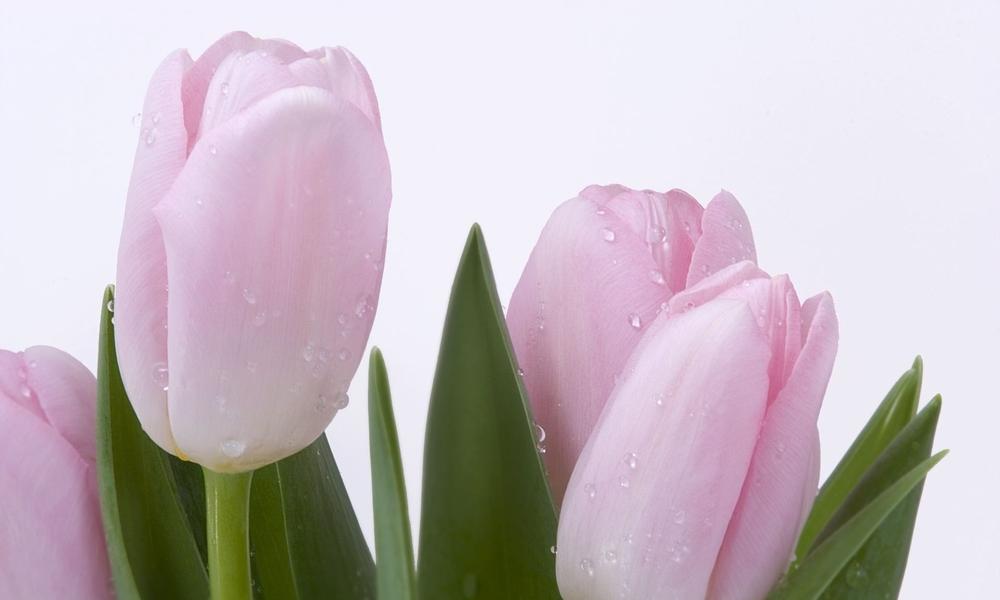 pink-tulips-1849.jpg
