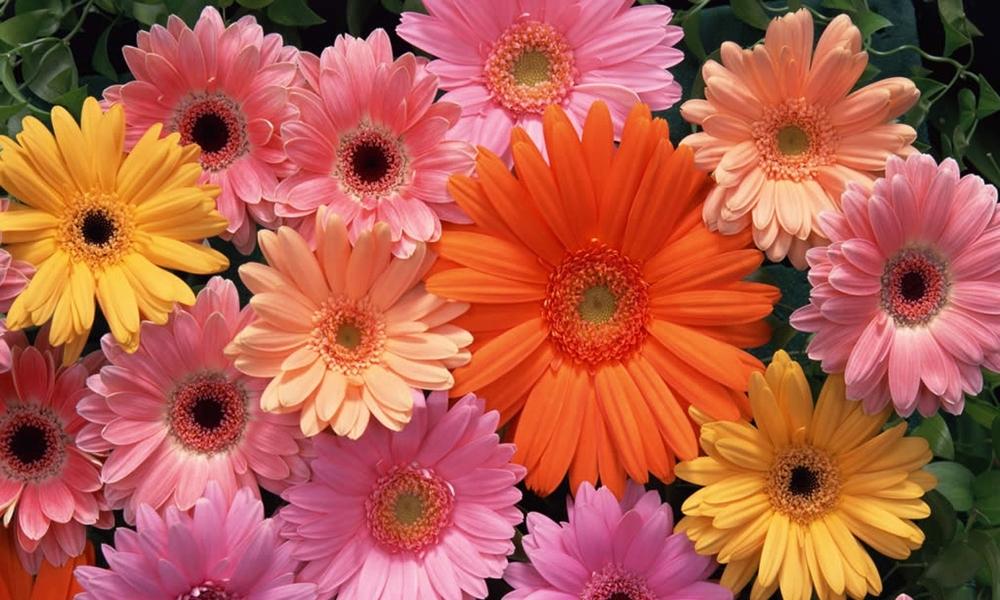 gerbera-daisy-5a.jpg