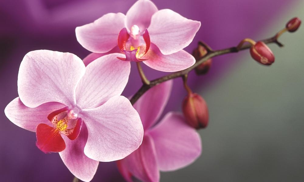 6997267-pink-orchids-macro.jpg
