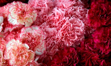 pink-red-carnations.jpg