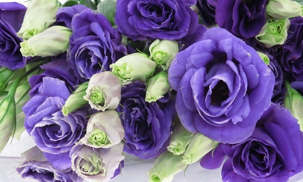 lisianthus%20purple.jpg