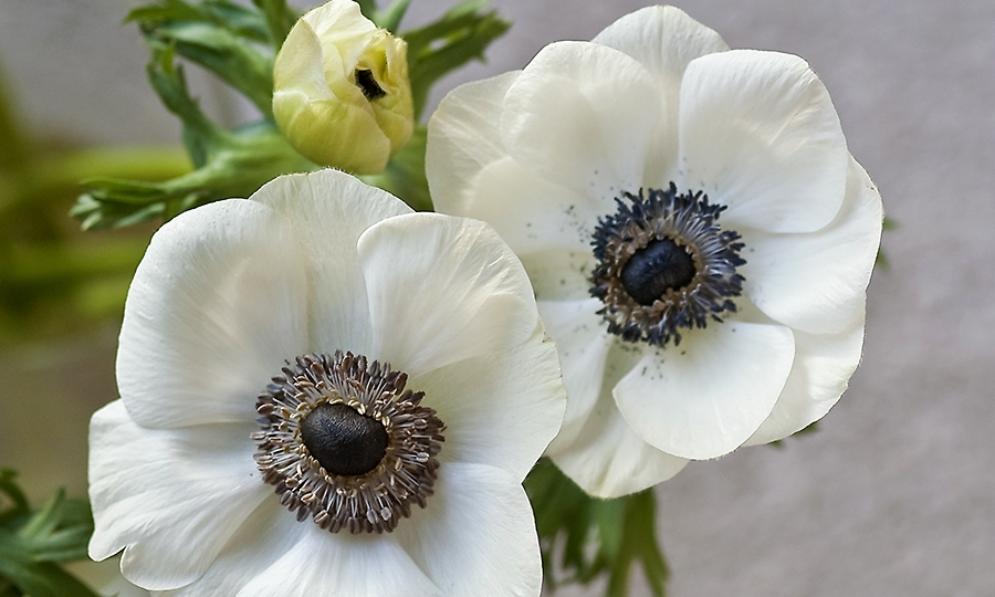 anemone-flowers-for-sale.jpg