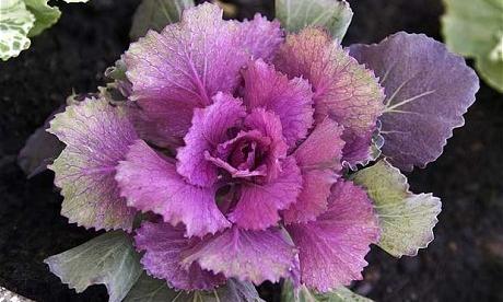 Brassica-oleracea_1809408c.jpg