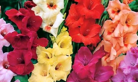 Gladiolus-Regular-%20Mix.jpg