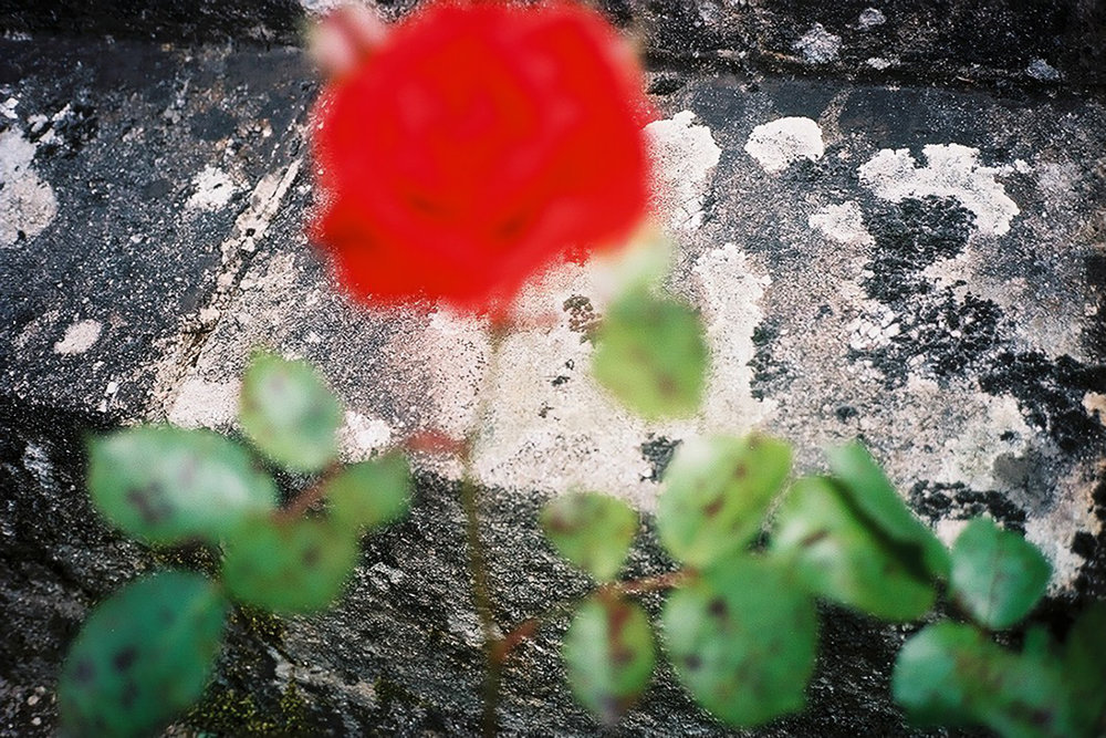 16 A rose grows on the war monument.jpg