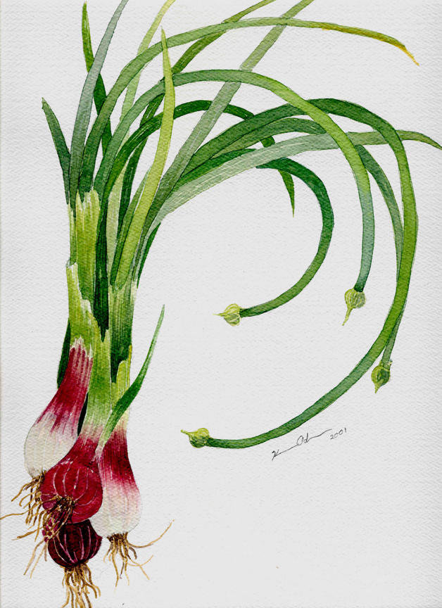 Onion   12 x 16   Watercolor on Paper (sold)