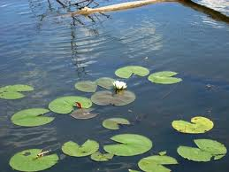 water lilly.png