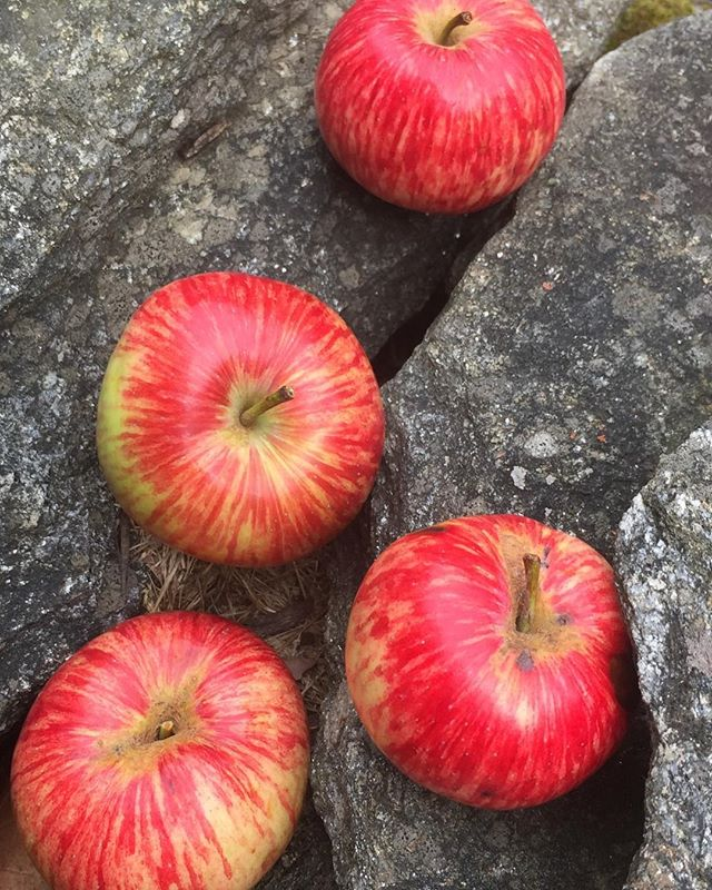 Fresh apples from an historic Shaker Orchard in Albany New York.