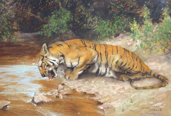 ARTHUR WARDLE Tiger Drinking Pastel on board 11 x 16 inches (28 x 40.5 cm.) SOLD