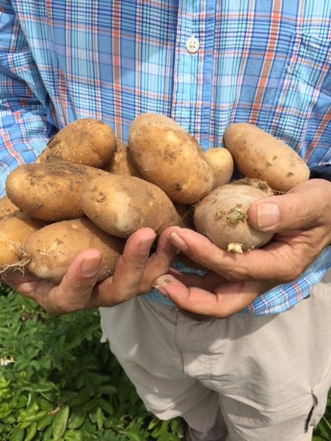 SM-10 Potato Trials 8.JPG