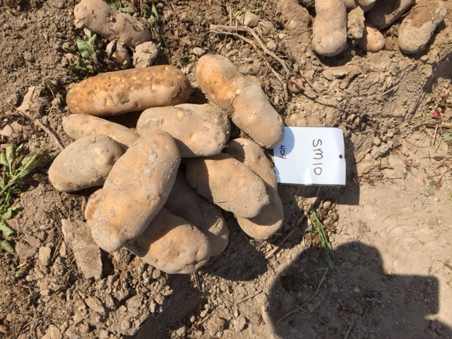 SM-10 Potato Trials 9.JPG