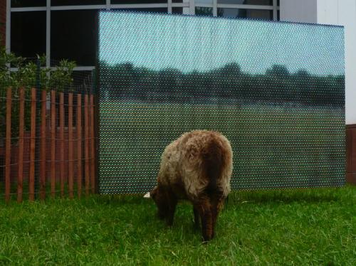 Shetland ewe grazing pasture site,spring 2010