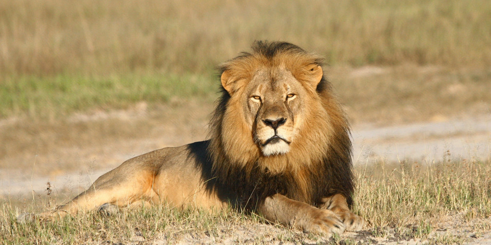 Steve Backshall Cecil the lion