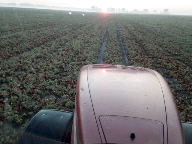 tomato harvest pic 4_9-17-14.JPG