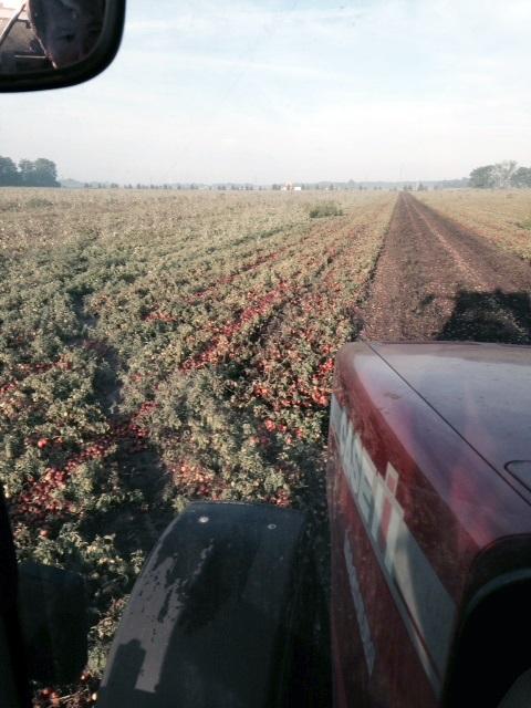 tomato harvest pic 2_9-17-14.JPG