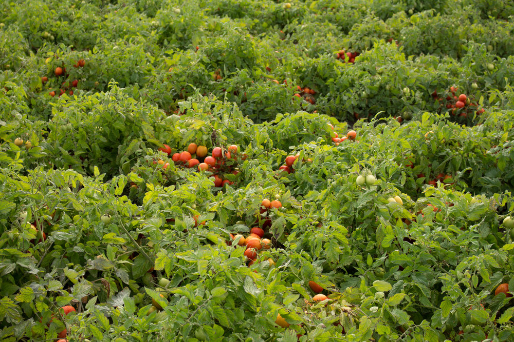 tomatoes-6.jpg