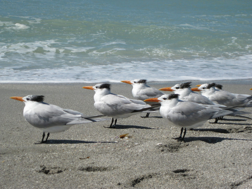 Royal Terns, Gulf Coast, FL.