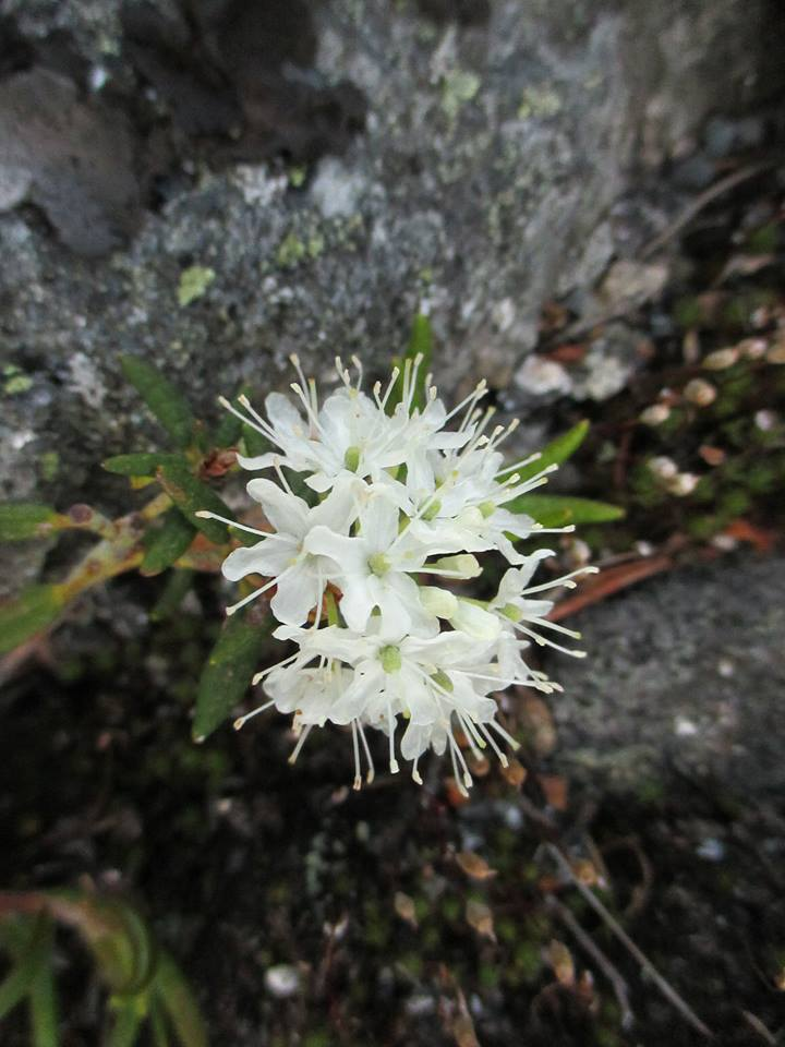 Labrador Tea, Mount Washington, NH