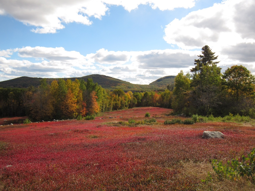 Blueberry fields, Union, ME