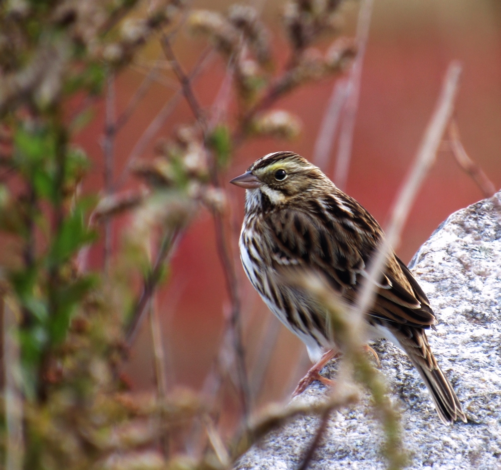 Savannah Sparrow, Union, ME