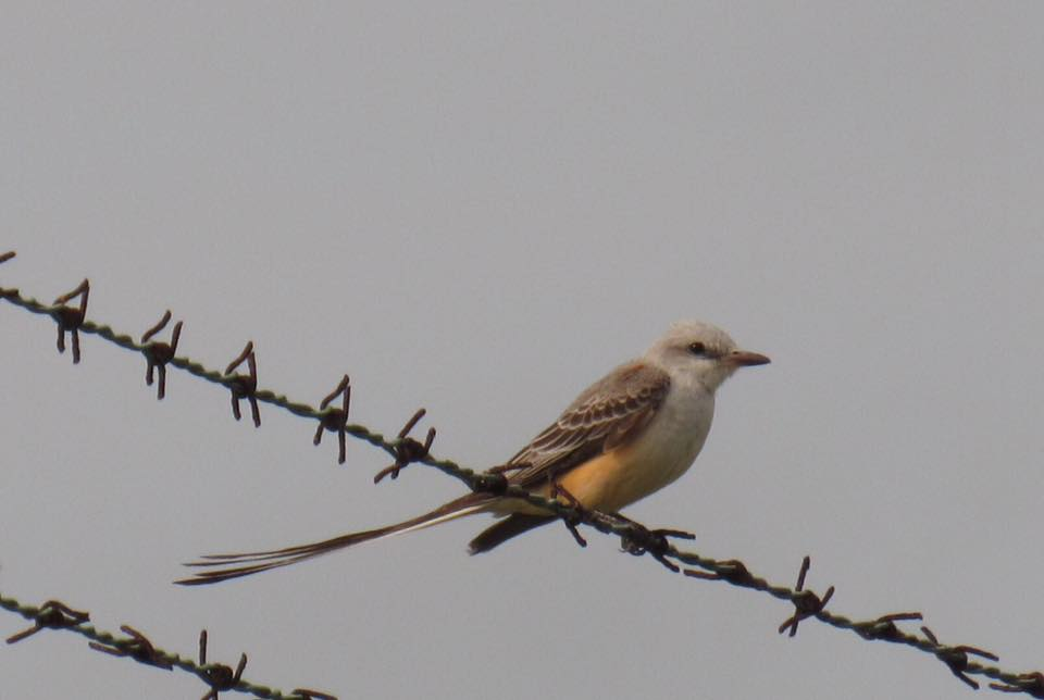 Scissor-tailed Flycatcher, a favorite. Seen in Key West, FL, January 2016.