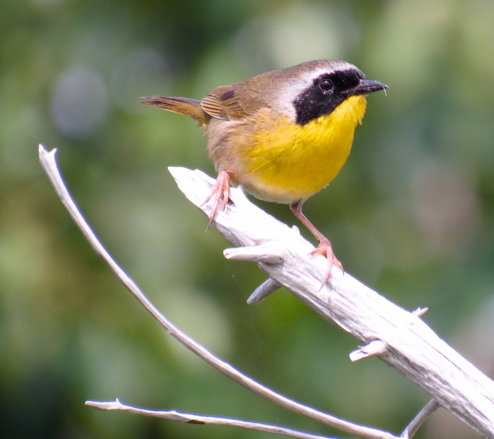 Common Yellowthroat, Monhegan, ME