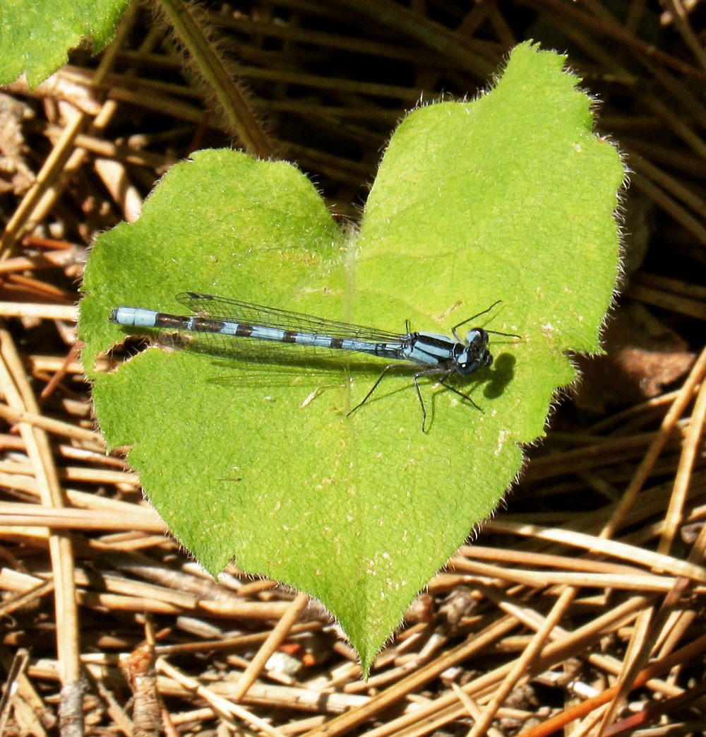 Blue Damselfly and Heart-leaved Aster
