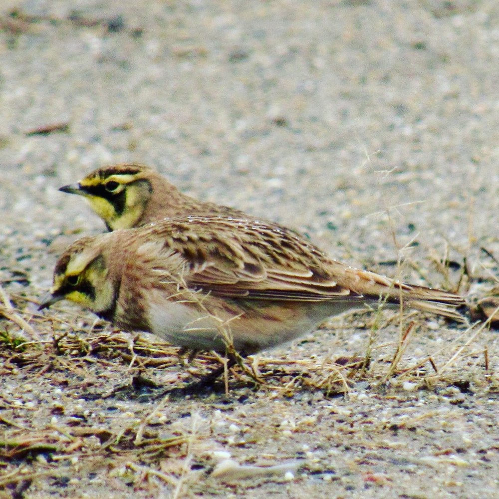Horned Larks, Clarry Hill, Union, ME