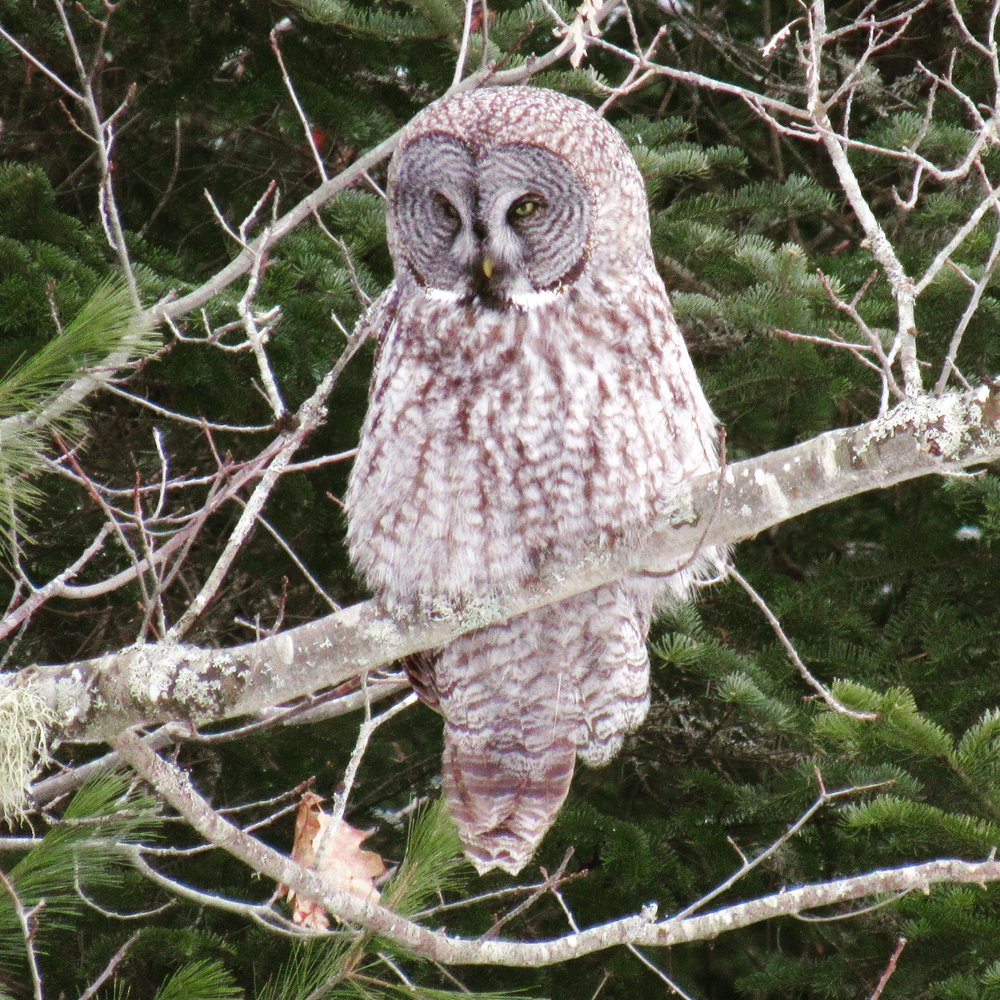Great Grey Owl, Maine, January 2017