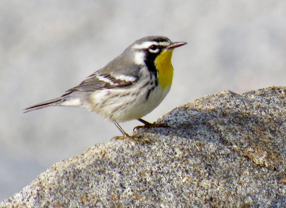 Yellow-throated Warbler, Monhegan, ME