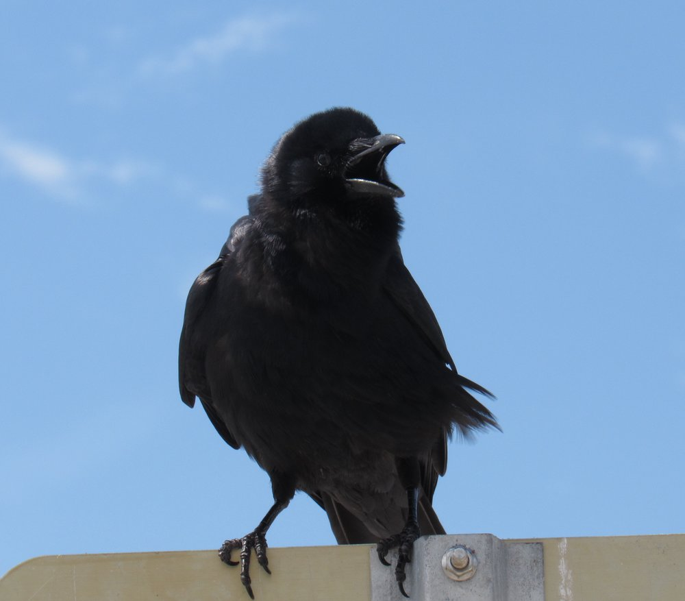 Fish Crow, Sanibel, FL