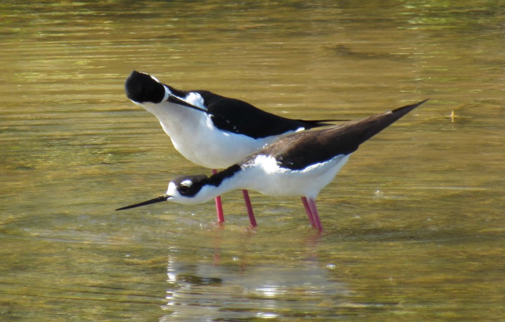 Black-necked Stilt, Sanibel, FL