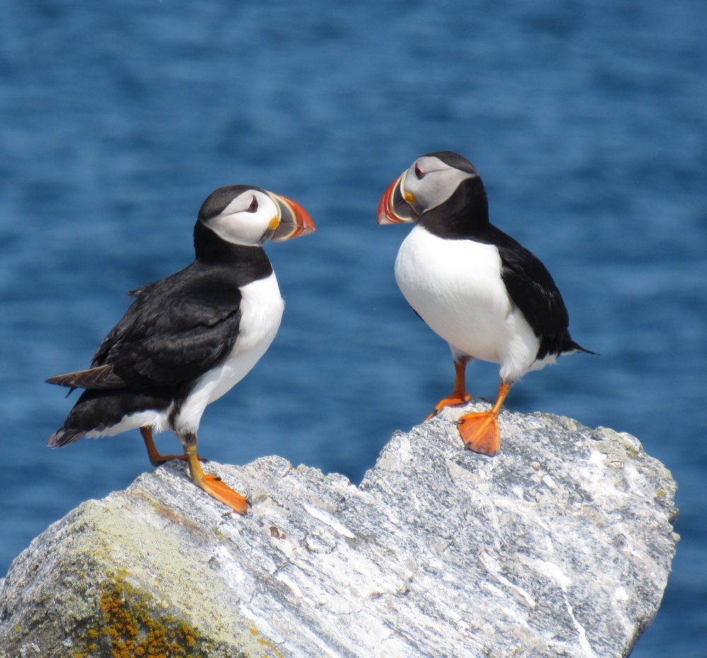 Atlantic Puffins, Eastern Egg Rock, ME
